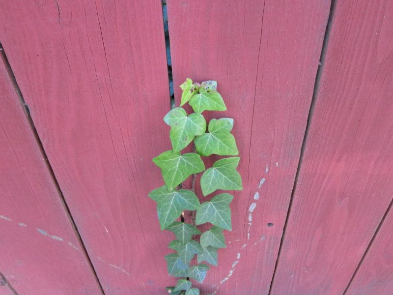 red fence with green ivy
